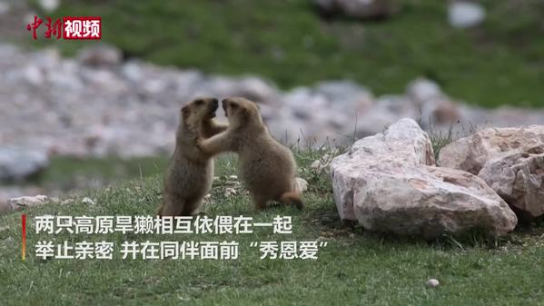 """高原旱獭在柴达木盆地""""秀恩爱"""""""