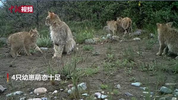 """祁连山公园五只荒漠猫罕见""""同框"""""""