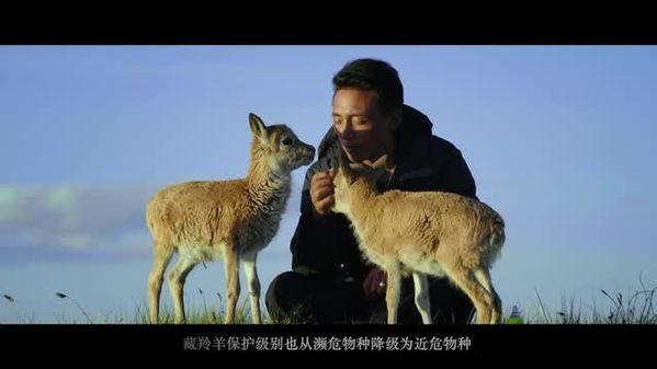 """守护""""高原精灵""""藏羚羊"""