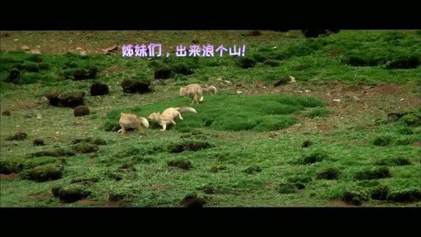 三江源野生动物的可爱日常