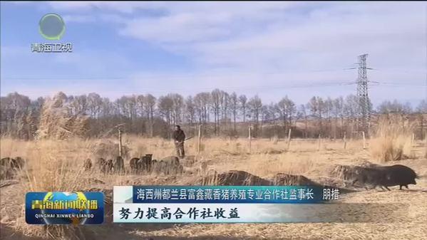 【市州县传真·海西】都兰:养殖藏香猪 致富走新路
