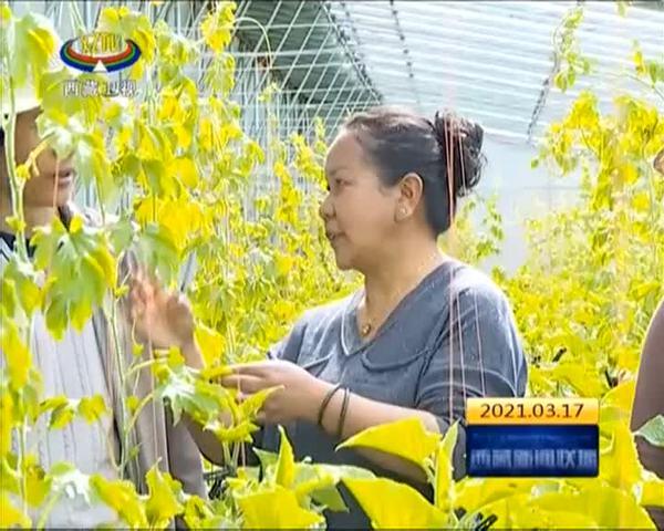 西藏自治区蔬菜产能提升技术集成与示范项目完成
