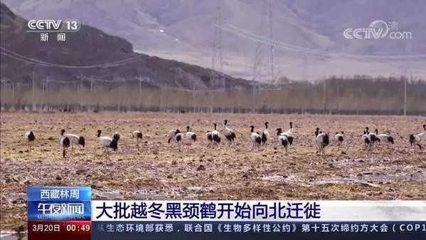西藏林周:大批越冬黑颈鹤开始向北迁徙