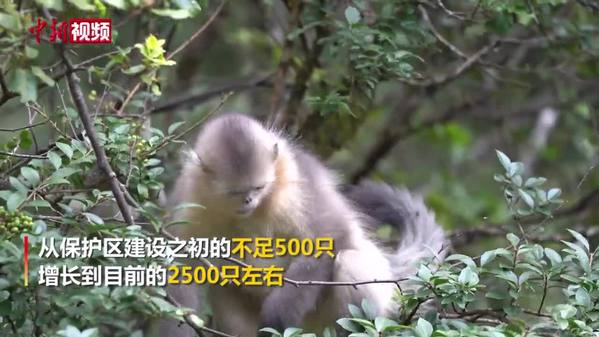 """实拍""""雪山精灵""""滇金丝猴"""
