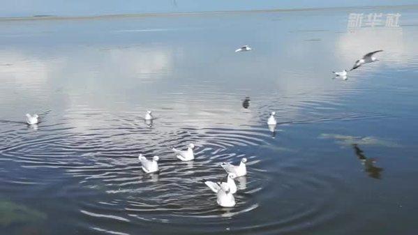 青海湖:鸟类天堂鸥竞飞
