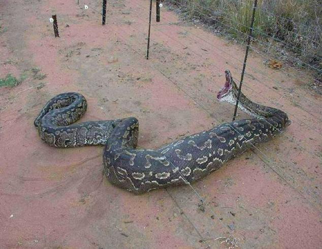 大蟒蛇在澳洲牧场被捕获照 我们都有听说过蟒蛇吃人的事情,我也知道