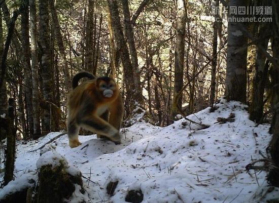 阿坝州金丝猴动物图片