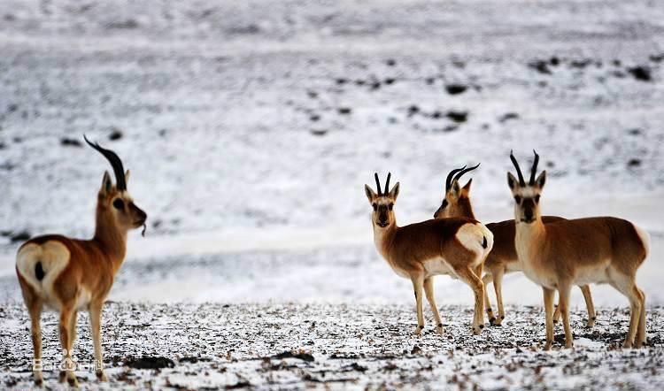 Cute animals on the snow-covered plateau (I)