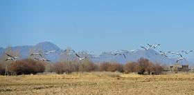 Black-necked cranes seen along Yarlung Zangbo River