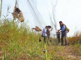 国家林业局赴津冀督导候鸟保护 天津解救3000只鸟