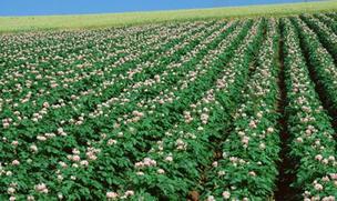 日喀则将建马铃薯薯种种植基地