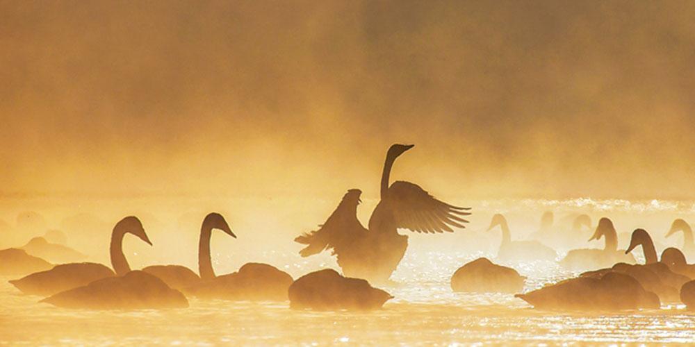 青海湖泉湾:天鹅的冬季乐园