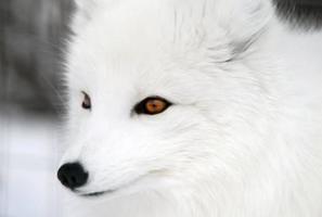 人民日报:北极狐们如何从西藏走出
