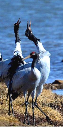 第一批越冬黑颈鹤飞抵拉萨
