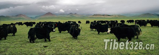 Tibetan highlanders get funding for yak herding