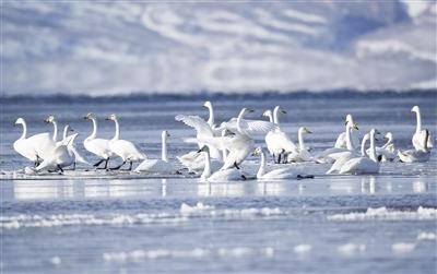 60.000 Wasservögel überwintern beim Qinghai-See