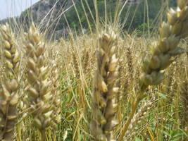 西藏将建3个麦类种植示范基地