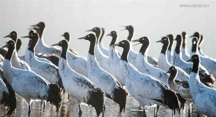 Tibet turns temporary home to black-necked cranes