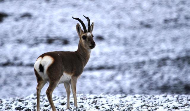 高原上跃动的精灵-藏羚羊