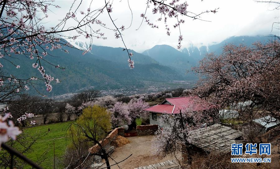 Peach trees in full bloom in Bome County, Nyingchi