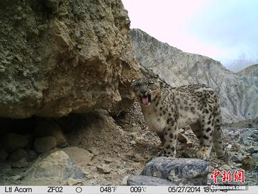 Wild snow leopards caught on camera at Mt. Qomolangma
