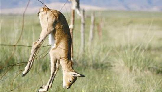 die Weidezäune  haben  mehrmals die geschützten Tibet-Antilopen und -Gazellen getötet.