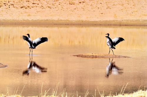 Die Schwarzhalskraniche ruhen und spielen im Naturschutzgebiet. 2