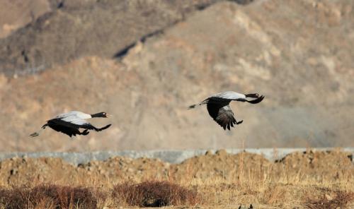 Die Schwarzhalskraniche ruhen und spielen im Naturschutzgebiet. 3