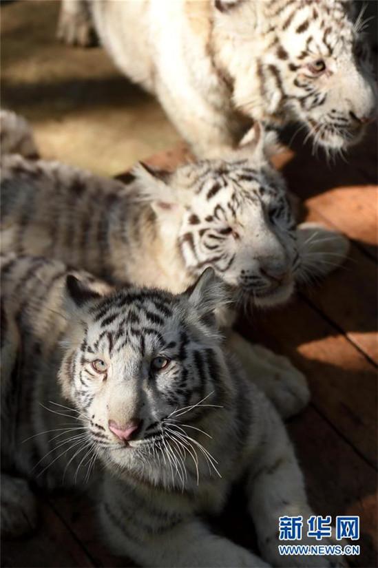 Weiße Tiger-Fünflinge in Kunming
