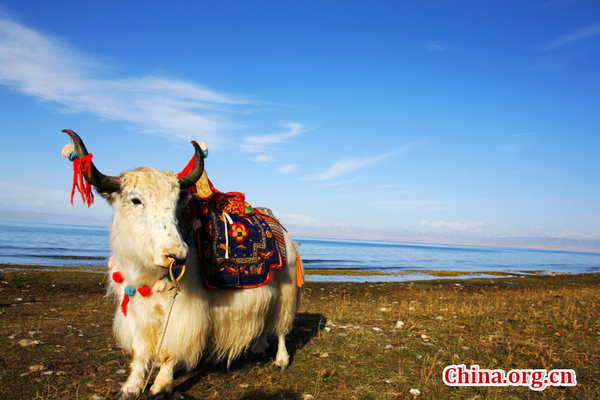 Qinghai Lake- The largest lake in China