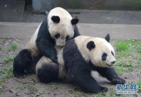 Spitzenperiode der Fortpflanzung von Riesenpandas 1