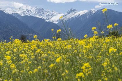 Rape flower field scenery in SW China's Tibet