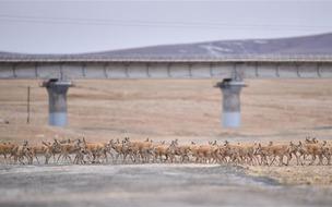 藏羚羊穿过青藏铁路通道