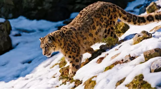 Real story about the Internet rumor of Tibetan villagers hunting snow leopards