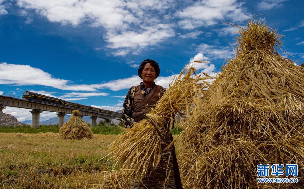 Tibet enters harvest season