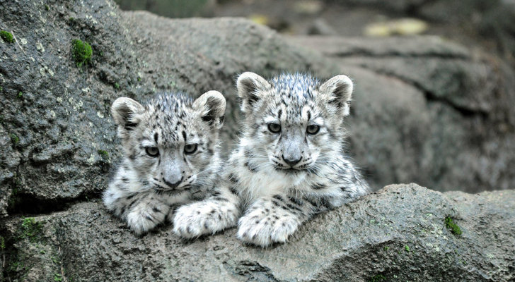 Five stand trial for killing rare snow leopards in China
