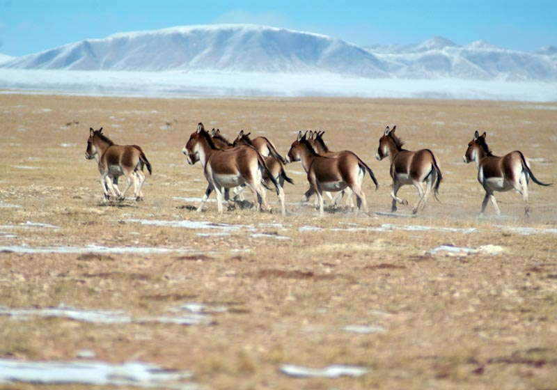 Qinghai has the highest concentration of wild donkeys
