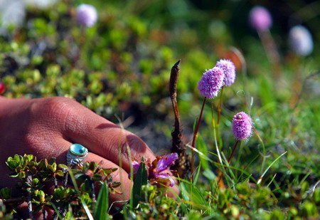 Substitute developed for cancer-resisting Tibetan herb
