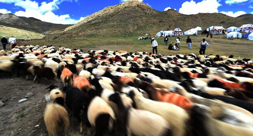 Sheep show held in Tibet