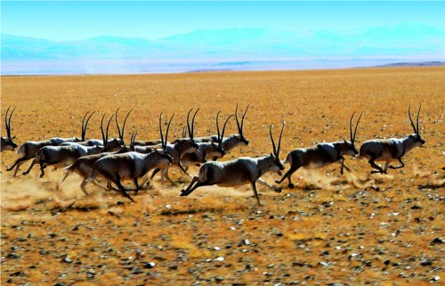 Scientists confirm the number of Tibetan antelope in Changtang