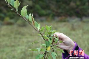 青海首个万亩藏茶基地3年让当地牧民增收一倍多