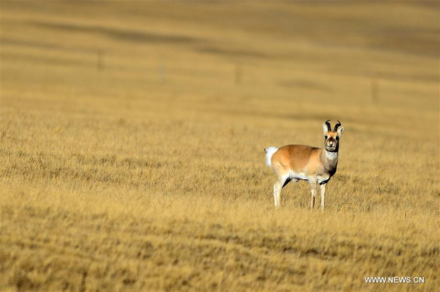 Wild animals in NW China's Qinghai