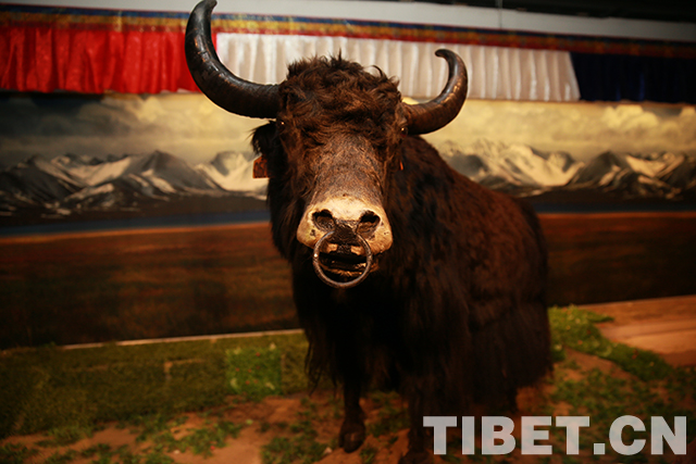 几件无比珍贵的牛头,其中一个刻满文字,曾是献给乾隆皇帝的贡品