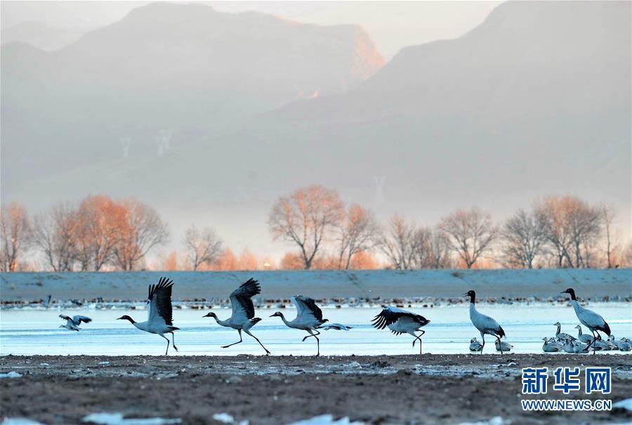 Black-necked cranes soaring at Qinghai-Tibet Plateau