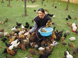 """藏鸡产业助力""""脱贫梦"""""""