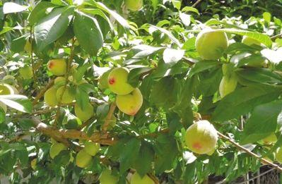 Auf dem Bauernhof in Nang duftet es nach Obst