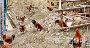 【绣花功夫】跑山鸡啄出奔康路
