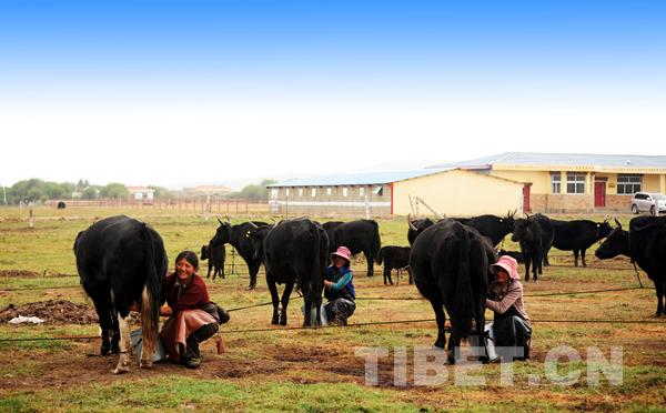 轮换饲养金牦牛