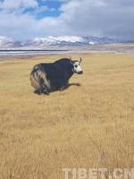 西藏民大探索人工种草扶贫之路