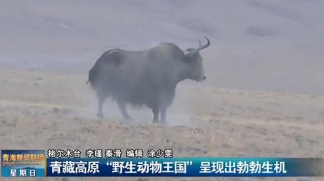 """青藏高原""""野生动物王国""""呈现出勃勃生机"""